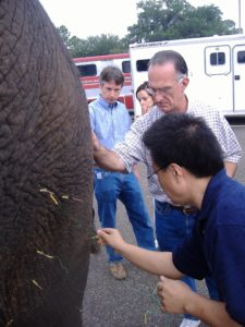La Grange KY Veterinarian Elephant Acupuncture
